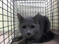 NYC TO BE DESTROYED June 17'14 KINSTON came in with Group/Litter #K14-179749 because their Guardian DIED. ID #A1002866.Neutered male gray about 9 YRS old.