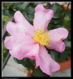 Camellia by Giancarlo Gallo