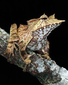 Banded Horned Tree Frog - Hemiphractus fasciatus