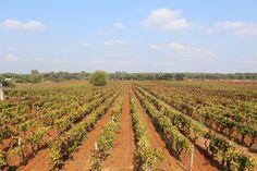 Panoramic view. #autumn #vineyards #Puglia #Italia #Apulia #Italy #SanMarzano