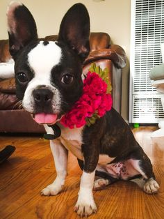 french bulldog flower clip in collar