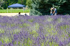 Starting a lavender farm can be a great way to make money from agritourism, as well as from value-added products, like lavender oil.