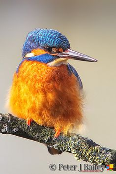 Male Common Kingfisher Alcedo atthis, perched on his branch just before sunset. Common Kingfisher, Before Sunset, Photography Workshops, Country Living, Animals And Pets, Deck, Cottage, Birds, Illustration