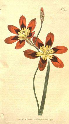 Sparaxis tricolor - circa 1797