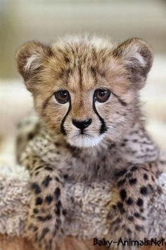 Image result for baby cheetah image