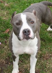 Jodie: American Staffordshire Terrier, Dog; Bay Shore, NY. Looks just like my brothers American Staffordshire Terrier but he is black & white
