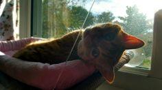 #cat #kitty #kitten #orangetabby #domesticshorthair #chilling