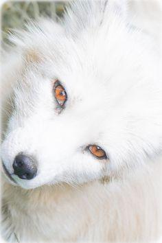 earthandanimals:   Arctic Fox byJörg Raddatz