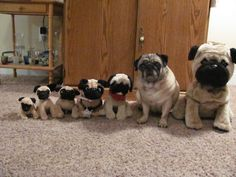Can you tell which puggie is different?