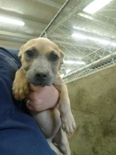 ***6/9/14 STILL LISTED ON PETFINDER! ***  SAVE THIS PRECIOUS BABY!! THEY DIDN'T EVEN GIVE HER A NAME!!***URGENT!!  PUPPY  Meet 14-0012347 a Petfinder adoptable Shepherd Dog | Odessa, TX | Adoptable on 5.28.14 cash or check only LOOK AT THAT SWEET BEAUTIFUL FACE! LOOK AT THAT FAT SOFT BELLY!!