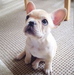 The major breeds of bulldogs are English bulldog, American bulldog, and French bulldog. The bulldog has a broad shoulder which matches with the head. Cute French Bulldog, French Bulldog Puppies, Baby Puppies, Cute Puppies, French Bulldogs, Baby Bulldogs, Baby Pugs, Corgi Puppies, English Bulldogs