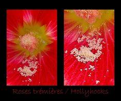 Rose trémière rouge