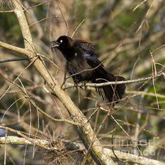 Common Grackle by Anne Rodkin