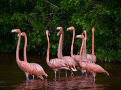 Pink flamingos are seen in the waters of the Celestun biosphere park near Yucatan, where small boats can take tourists to about a hundred yards away from the colourful birds.| Amir Bibawy/The Associated Press