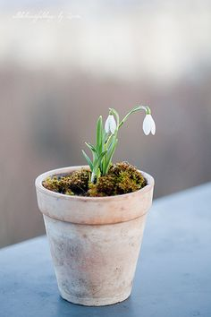 All the beautiful things - snowdrops