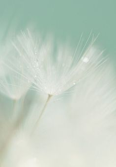 Make A Wish,Beautiful dandelion  flickr  by OneliaPG