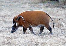 Pinselohrschwein – Wikipedia