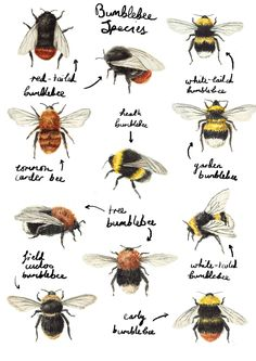 ≗ The Bee's Reverie ≗  Catherine Pape | Bumblebees | catherinepapeillustration