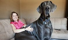 Tallest dog Giant George, a Great Dane from Tucson, Ariz., holds two world records: tallest living dog and tallest dog ever. Funny Animal Photos, Dog Pictures, Funny Animals, Cute Animals, Funny Images, Odd Animals, Bing Images, Large Animals, Funny Dogs