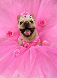Pretty Pug In Pink