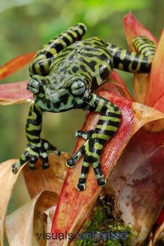 Tiger Tree Frog on Bromeliad (Hyloscirtus Tigrinus) Funny Frogs, Cute Frogs, Beautiful Creatures, Animals Beautiful, Cute Animals, Reptiles And Amphibians, Mammals, Frosch Illustration, Wilde Life