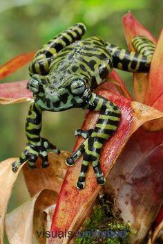 Tiger tree frog