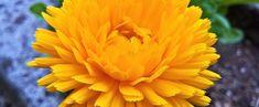 Die Ringelblume, auch Calendula officinalis genannt, zählt zu den ältesten Kulturpflanzen und wurde 2009 zur Heilpflanze des Jahres gekürt. Am bekanntesten ist wohl die Verarbeitung zu Ringelblumenöl. Rose, Flowers, Plants, Wound Healing, Natural Medicine, Pink, Plant, Roses, Royal Icing Flowers