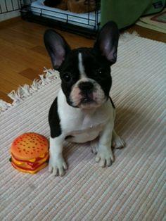 Frenchie hamburger love