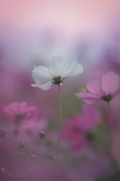 Nice to meet you. Cosmos Flowers, Flowers Nature, Wild Flowers, Pictures Of Poppy Flowers, Flower Photos, Happy Flowers, Beautiful Flowers, Flower Wallpaper, Pretty Pictures