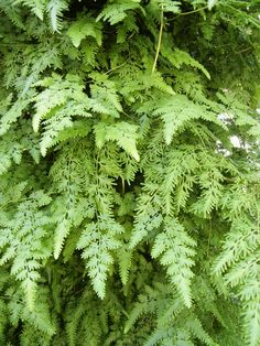 Japanese Climbing Fern (Hai Jin Sha), is used to treat issues of the bladder and small intestine.