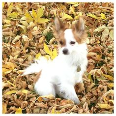 Papillon. Forever puppy :)