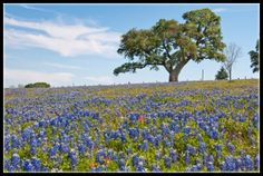 Bluebonnets, Texas State Flower