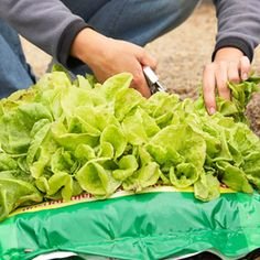 Plant lettuce and other seeds right in the potting soil bag that has a section cut out of the side.