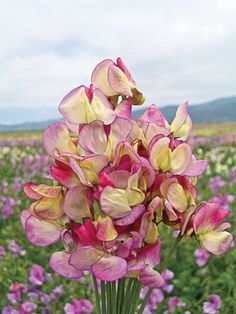 Spanish Dancer Sweet Pea - one of my most favorite flowers!  :)