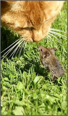 Believe me, I'm too small for you ;-)))))) #photo by Peter Rehm #mouse cat kitty kitten friends amazing shot nature wildlife pet animal