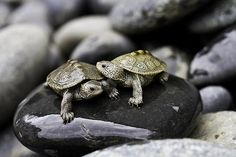 I have seen numerous suggestions for Russian tortoise diet Some great Some awful. Russian Tortoises are nibblers and appreciate broad leaf plants. Cute Turtles, Baby Turtles, Sea Turtles, Pictures Of Turtles, Kawaii Turtle, Turtle Time, Turtle Book, Baby Animals, Cute Animals