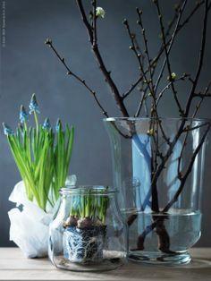 Pärlhyacinter som snart tittar upp över kanten på ENSIDIG vas, knoppiga körsbärskvistar står bra i POMP lykta för blockljus.