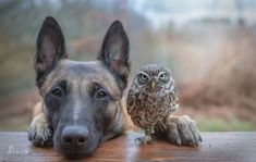 Meet Ingo and Poldi: Tiny rescued owl and dog are madly in love
