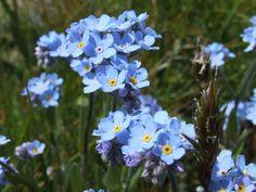 Alpenblume Alpen-Vergissmeinnicht (Myosotis sylvatica), Rauhblattgewächs