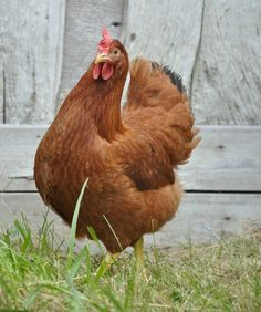 poule rousse acheter une poule rousse poule pondeuse poulailler pinterest poule. Black Bedroom Furniture Sets. Home Design Ideas
