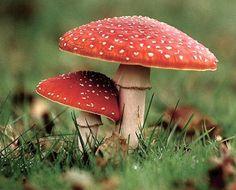 Fresh Crop Mushrooms is the leading specialist in Exotic Mushrooms in Australia. Get exciting mushroom recipe every week - www.freshcropmush...