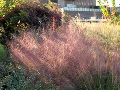 The pink-and-purple, cloudy appearance of Muhlenbergia capillaris, or Pink muhly grass, is thanks to its feathery flowers, called inflorescences, that mature on thin branches from the bottom up.