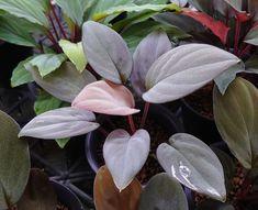 Big Indoor Plants, Large Indoor Plants