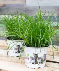 Cat Grass   Plants from Bakker Spalding Garden Company