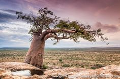 This baobab on top of a sandstone hill is well known among historians...it is where Cecil John Rhodes engraved his initials in the late 1800s