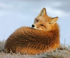 beautiful-wildlife: Red Fox Waking From A Nap by Gary Lackie