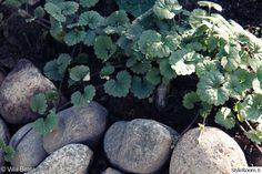 Kirjavalehtinen maahumala on erinomainen maanpeitekasvi, lisäksi sen lehdet tuoksuvat ihanalta! Leviää nopeasti - mutta kasvin saa helposti nyhdettyä pois sieltä, minne sitä ei halua. Vastaavasti sitä voi levittää helposti, yksi tukeva rönsy nyhtäistään maasta - ja kunhan siinä vähän juurta jossain näkyy, niin varmasti lähtee!