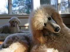 amazing, exactly like our standard poodle,  phoebe,......same color, thick hair, eyes.  she is a rescue so i always wondered if their were others like her.   she is the greatest.