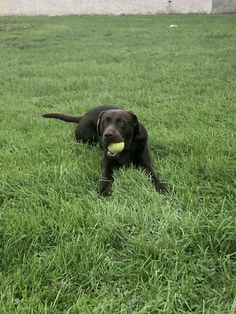 Walks, Labrador Retriever, Dogs, Animals, Labrador Retrievers, Animales, Animaux, Pet Dogs, Doggies