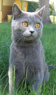 Chartreux breed cat